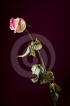 Withered Rose. Sadness Stock Photo - Image: 16880120