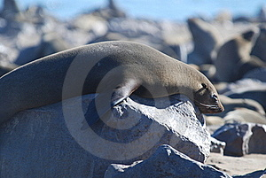 Seals Royalty Free Stock Photography - Image: 16890327