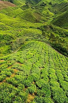 Tea Plantation Royalty Free Stock Photography - Image: 16893987