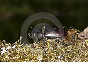 Female Stag Beetle Royalty Free Stock Photos - Image: 16894518