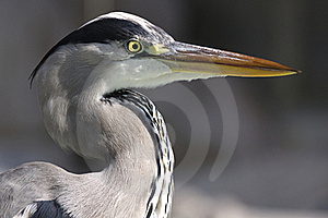 Heron Royalty Free Stock Photos - Image: 16914368