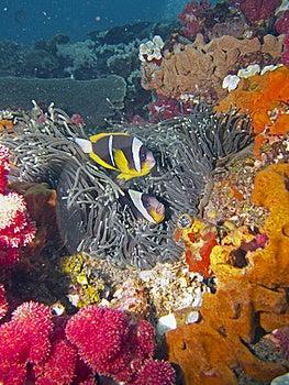 Twobar Anemone Fish Stock Image - Image: 16917631