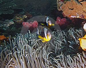 Twobar Anemone Fish Royalty Free Stock Image - Image: 16917726