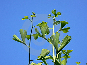 Ginkgo Royalty Free Stock Photography - Image: 16923257