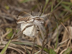 Female Wolf Spider With Eggs Stock Images - Image: 16923514