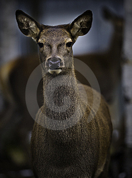 Roe Deer Royalty Free Stock Photography - Image: 16943657