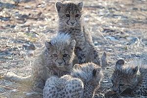Cheetaa Royalty Free Stock Images - Image: 16944939