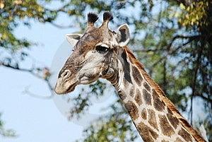 Giraffa Stock Image - Image: 16945451
