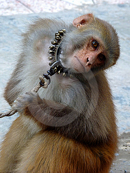 Staring Monkey Royalty Free Stock Photos - Image: 16950048