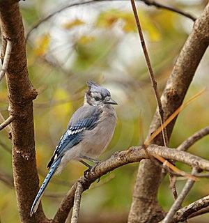 Blue Jay, Cyanocitta Cristata Royalty Free Stock Images - Image: 16953549
