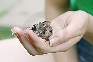 Female Hand Holding A Chick Stock Image - Image: 16955751