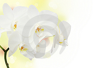 White Orchid Stock Images - Image: 16958554