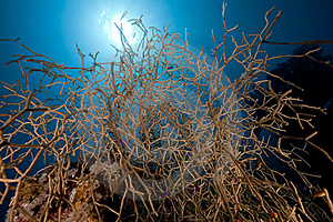 Noded Horny Coral And Fish In The Red Sea. Royalty Free Stock Photos - Image: 16961058