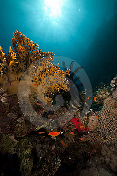 Sawtoothed Feather Star And Fish Royalty Free Stock Photography - Image: 16961217