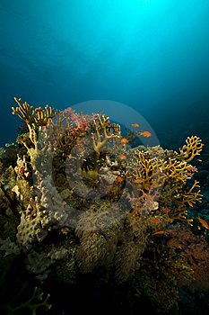 Coral And Fish In The Red Sea. Royalty Free Stock Photography - Image: 16961337