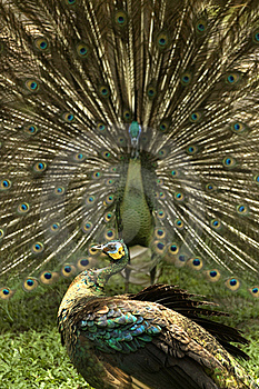 Peacock Royalty Free Stock Photography - Image: 16962567