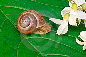 Garden Snail On A Leaf With Acacia Flowers Royalty Free Stock Photos - Image: 16969358