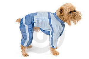 Dog In A Blue Jacket. Royalty Free Stock Photos - Image: 16972498