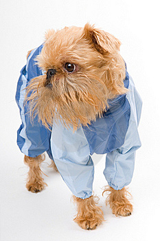 Dog In A Blue Jacket. Stock Images - Image: 16972624