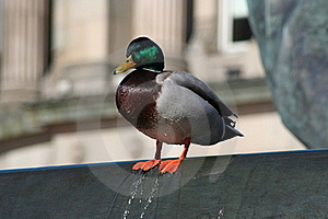 Urban Duck On The Edge In Birmingham Stock Photo - Image: 16974480