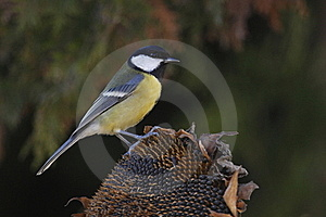 Great Tit Royalty Free Stock Photography - Image: 16974627