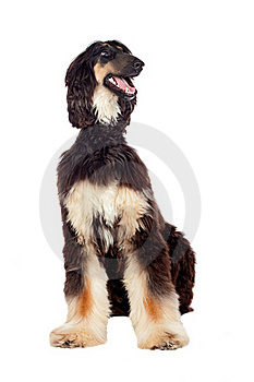 Arabian Hound Dog Royalty Free Stock Photo - Image: 16978505