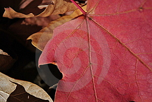 Red Maple Royalty Free Stock Photography - Image: 16978617