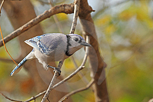 Blue Jay, Cyanocitta Cristata Royalty Free Stock Images - Image: 16985839