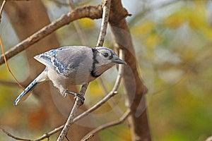 Blue Jay, Cyanocitta Cristata Royalty Free Stock Images - Image: 16985839