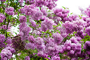 Bunch Of Violet Lilac Stock Photography - Image: 16989542