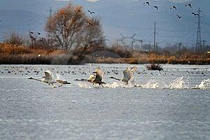 Swan Royalty Free Stock Image - Image: 16991496