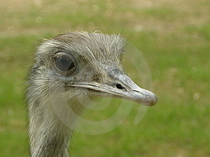 Ostrich Free Stock Image