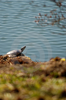 Покрашенная черепаха Стоковые Фото