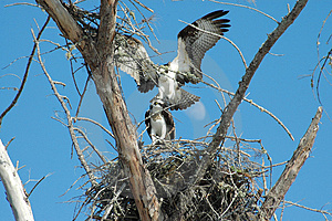 Osprey's Mating Under Moon Free Stock Photography