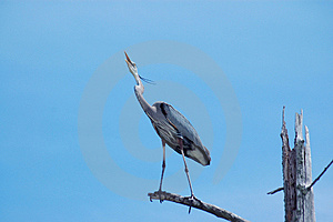 Perched Heron Free Stock Photography