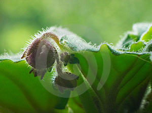 Bud of violet Stock Image