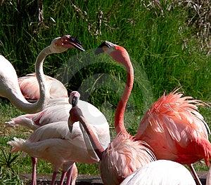 Flamingos Kiss Stock Photography