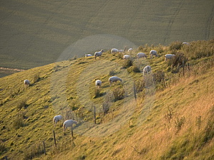 Hillside Sheep Free Stock Image