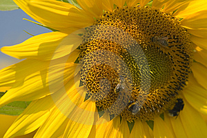 Sunflower Close-up Free Stock Photography
