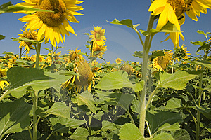 Sunflower Field Free Stock Photo