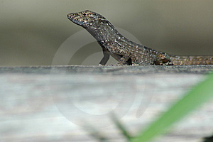 Regard vert d'anole Photo stock