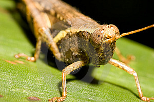 Grasshopper Free Stock Image
