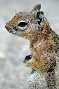 Cute Squirrel Free Stock Photography