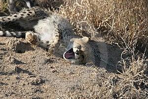 Yawning Cheetah Cub Stock Images