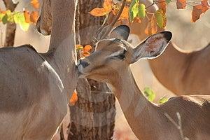 Kissing Impala Free Stock Images
