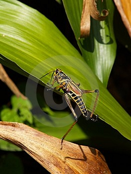 Swamp Grasshopper Hopping Free Stock Photo