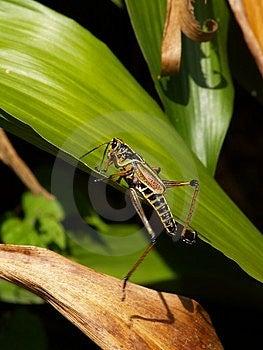 Grasshopper ελών Hopping Στοκ φωτογραφία με δικαίωμα ελεύθερης χρήσης