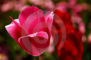 Tulip Free Stock Image