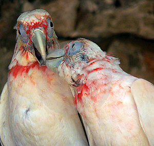 Kissing Parrots Free Stock Photography