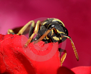 Wasp...(6) Stock Photo